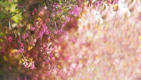 Bomen van de banner de bloeiende roze appel in de lente stock foto