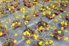 Bomen van de bonsai de tot bloei komende abrikoos Royalty-vrije Stock Afbeeldingen