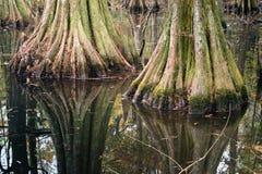 Bomen van de boom trunksl de kale cipres, bezinningen in meerwater Het Park van de Chicotstaat, Louisiane, de V.S. royalty-vrije stock afbeelding