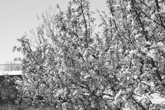 Bomen van de de lente de bloeiende appel in Kyrgyzstan Royalty-vrije Stock Fotografie