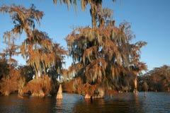 Bomen van kale cipres met het hangen Spaanse binnen mossin de herfst stock foto