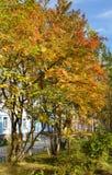 Bomen van lijsterbes, op de centrale stadsweg worden geplant, met gele, rode, oranje de herfstbladeren en rijpe bossen die van sa Stock Foto