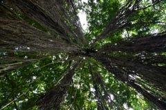Bomen van onderaan, mening naar omhoog in een tropisch bos Royalty-vrije Stock Foto