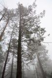 Bomen in vroege ochtendmist Royalty-vrije Stock Afbeeldingen