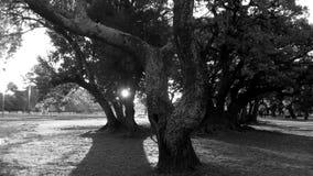 Bomen in zwart-witte backlight - stock afbeelding