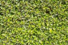 Bomenmuur Stock Foto