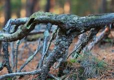 Bomenwortels in de herfst bos dichte omhooggaand Stock Fotografie