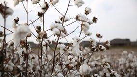 bomull Fotografering för Bildbyråer