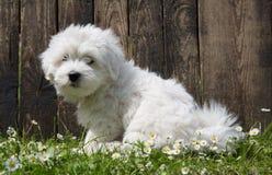 Bomull de Tulear - hund behandla som ett barn ståenden - valpsammanträde i garden Royaltyfri Foto