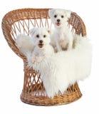 Bomull de Tulear och maltesiska Bichon på en vide- stol Royaltyfri Foto