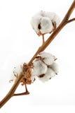 Bomull som isoleras på vit royaltyfri fotografi
