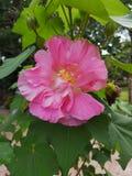 Bomull steg, bomull steg hibiskusen, förbundsmedlem rosen, förbundsmedlem den rosa malvan, Dixie rosemallow, rosen som kan ändras royaltyfria foton