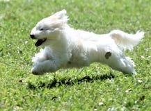Bomullen de Tuléar är en avel av den lilla hunden som namnges för staden av Tuléar i Madagascar och för dess bomull-som laget Arkivfoto