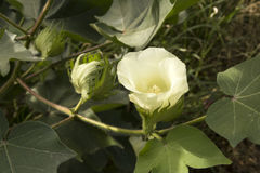 Bomullsblomma i ett fält Royaltyfri Fotografi