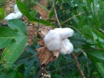 Bomullsbollar på gräsplan royaltyfri fotografi