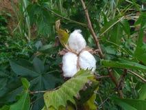 Bomullsbollar på gräsplan arkivfoton