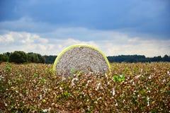 Bomullsenhet i ett fält Arkivfoton