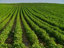 bomullsfält Arkivfoto