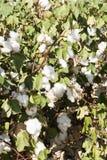 bomullsfält Arkivfoton