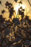Bomullsfält Royaltyfria Foton
