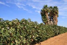 Bomullsfält i en öken Arkivbild
