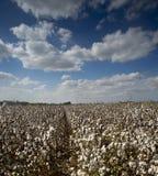 Bomullsfält Israel Royaltyfri Bild