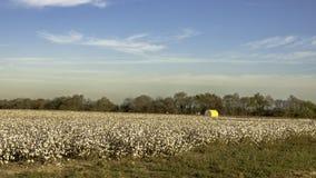 Bomullsfält som är klart för skörd Arkivbild