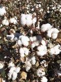 Bomullsfältlantgård Arkivbild