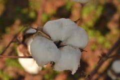 Bomullsfröhus arkivfoton