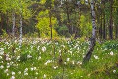 Bomullsgräs eller Wollgras Royaltyfria Foton