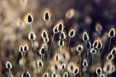 Bomullsgräs (Eriophorum) som blommar kust- växter Royaltyfri Fotografi