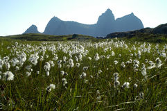 Bomullsgräs på en ö i Norge Royaltyfria Foton