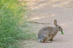 Bomullssvanskanin Bunny Eating Greens Fotografering för Bildbyråer