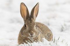 Bomullssvanskanin som är nära upp i snö royaltyfri bild