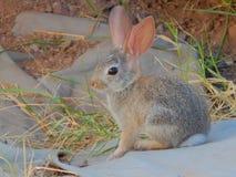 Bomullssvanskaninen behandla som ett barn kaninen Royaltyfri Foto