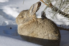 Bomullssvanskaninkanin i snö Royaltyfria Bilder