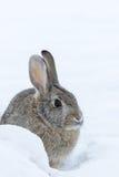 Bomullssvanskaninkanin i snö Arkivbilder