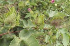 Bomullsväxt, bomullsknoppar Arkivfoto
