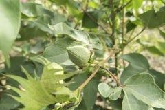 Bomullsväxt, bomullsknoppar Royaltyfri Foto
