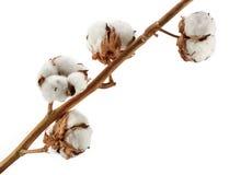 Bomullsväxt som isoleras på vit royaltyfri bild