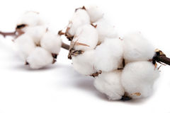 Bomullsväxt som isoleras på vit bakgrund Arkivfoto