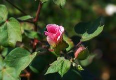 Bomullsväxt och blomma Arkivfoto