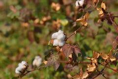 Bomullsväxt och fält Royaltyfri Bild