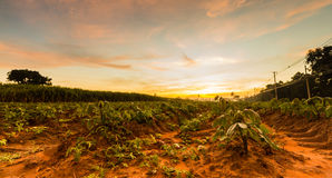 Bon manioc moning Image libre de droits