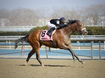 Bon Raison Winning Tom Stakes olhando foto de stock