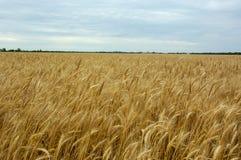 Bon rendement de blé Image libre de droits