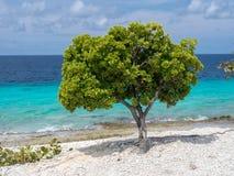 Bonaire Coastline tree Royalty Free Stock Photo