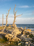 Bonaire driftwood Royalty Free Stock Photography