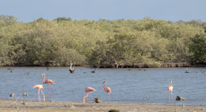 Bonaire Flamingos Royalty Free Stock Photo