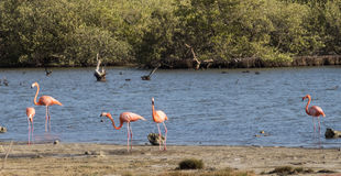 Bonaire Flamingos Royalty Free Stock Photography